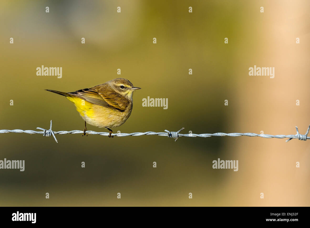 dendroica petechia, yellow warbler - Stock Image