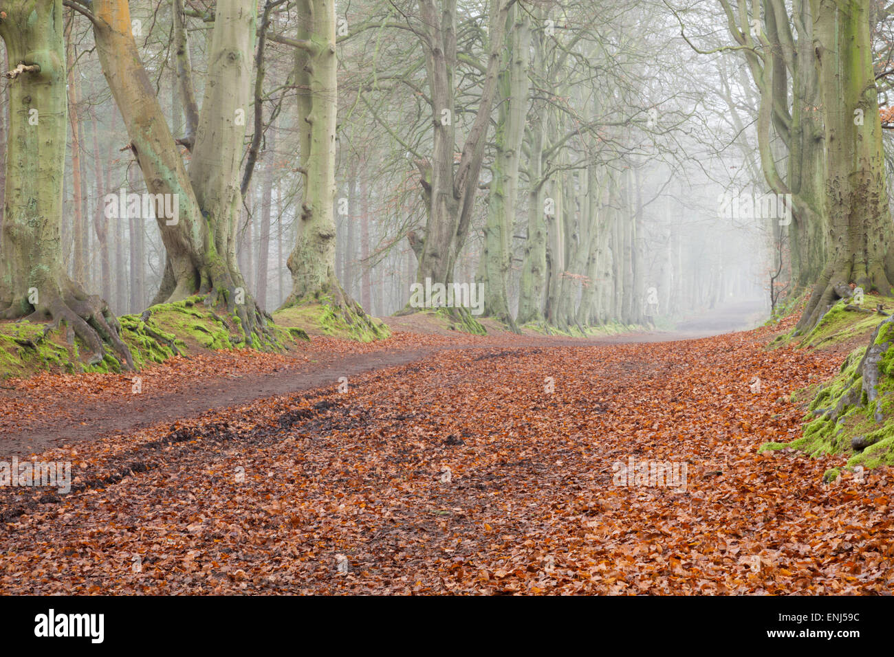 Morning mist lingers amongst the beech and fir trees of Harlestone Firs near Northampton in Northamptonshire, England. - Stock Image