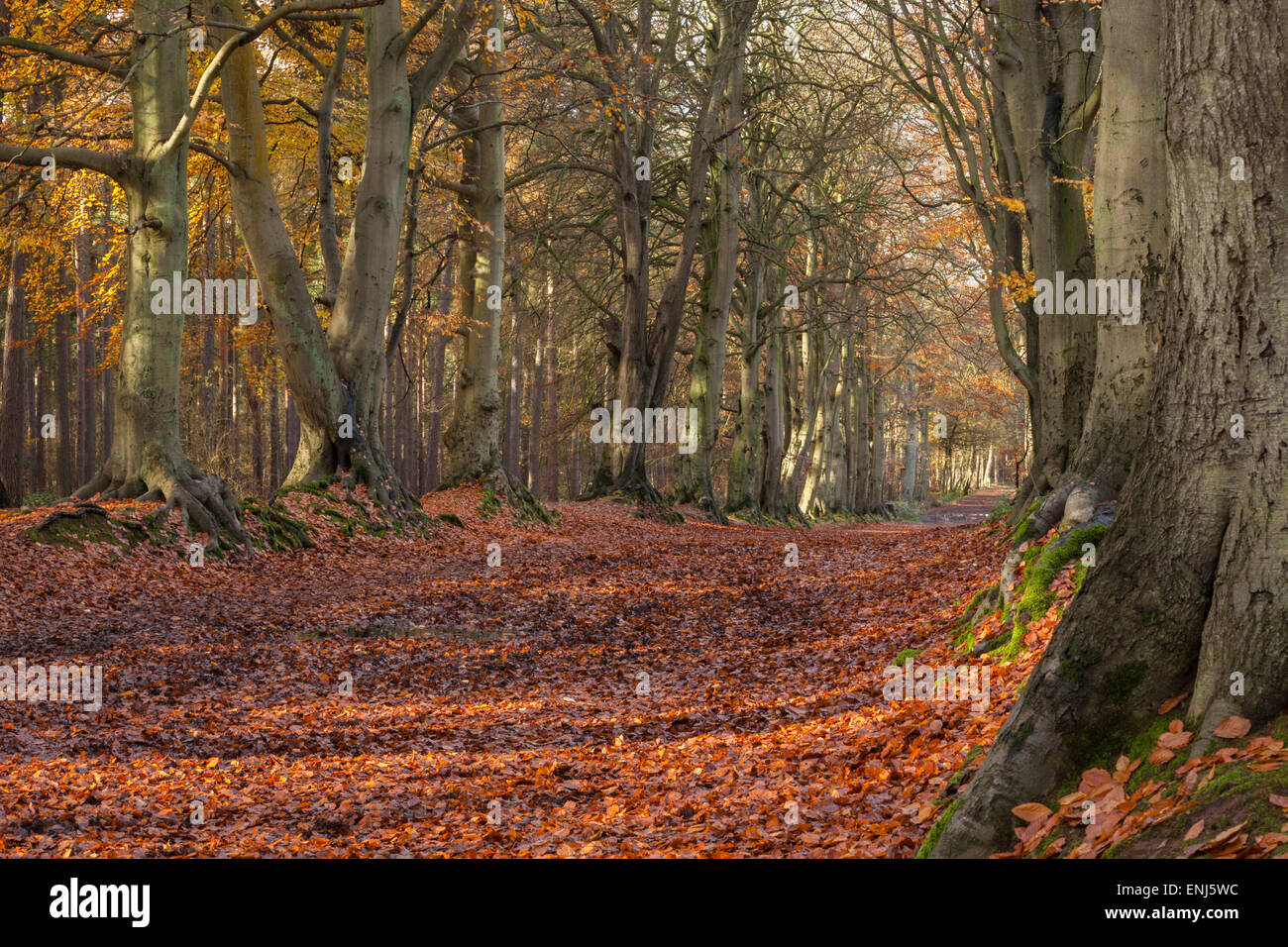 Autumn colours within the avenue of ancient beech trees catching the early morning sun, Harlestone Firs on the edge - Stock Image