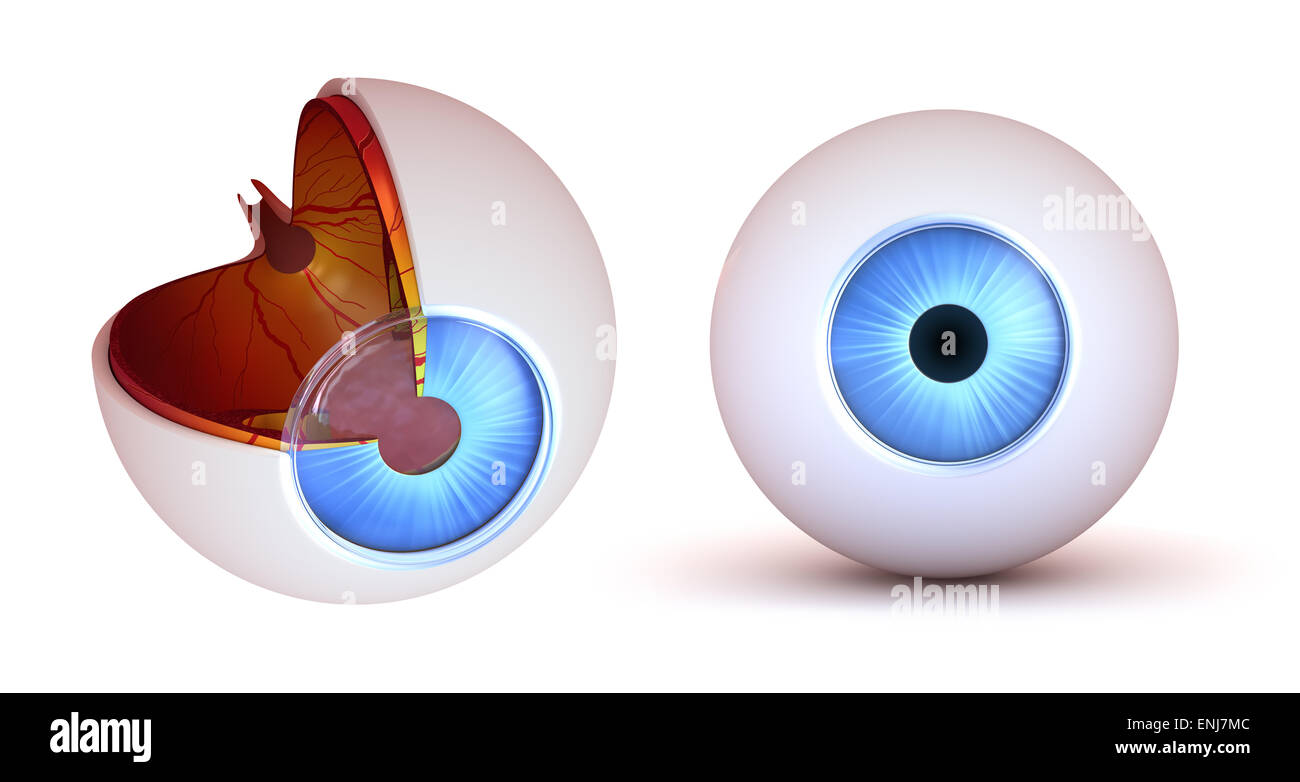 Eye anatomy - inner structure and front view, isolated Stock Photo ...