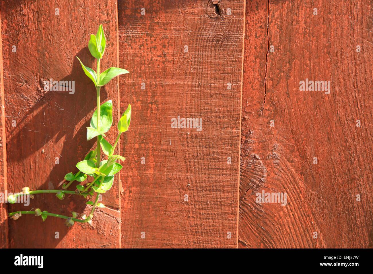 Weed grows through a garden fence - Stock Image