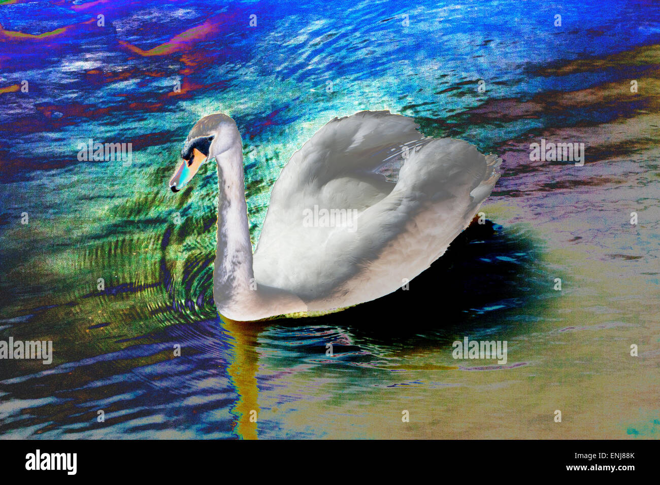 Psychedelic mute swan - Stock Image