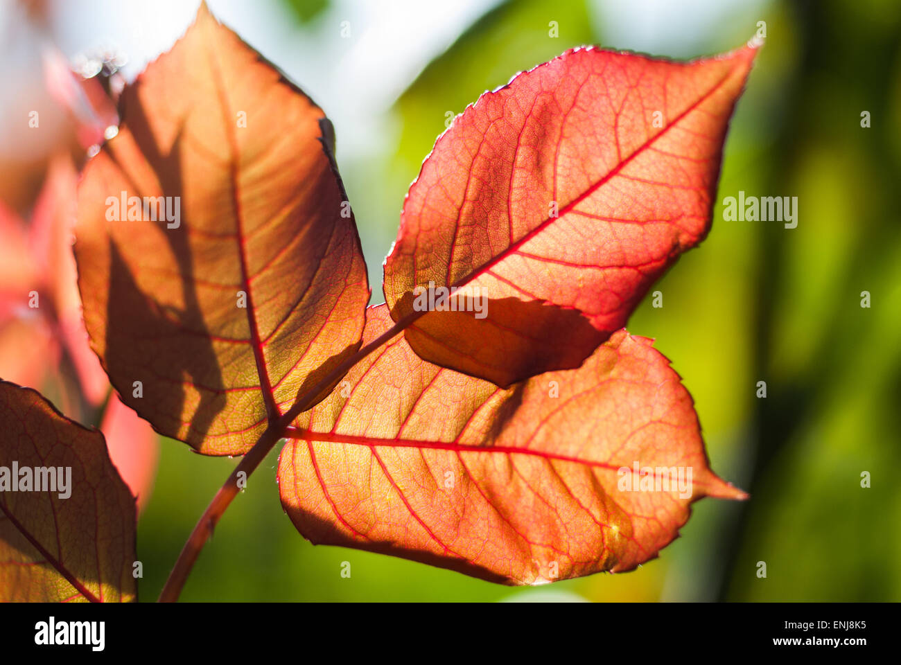 Macro Shot of sun showing the detail of the leaves from beneath. Stock Photo