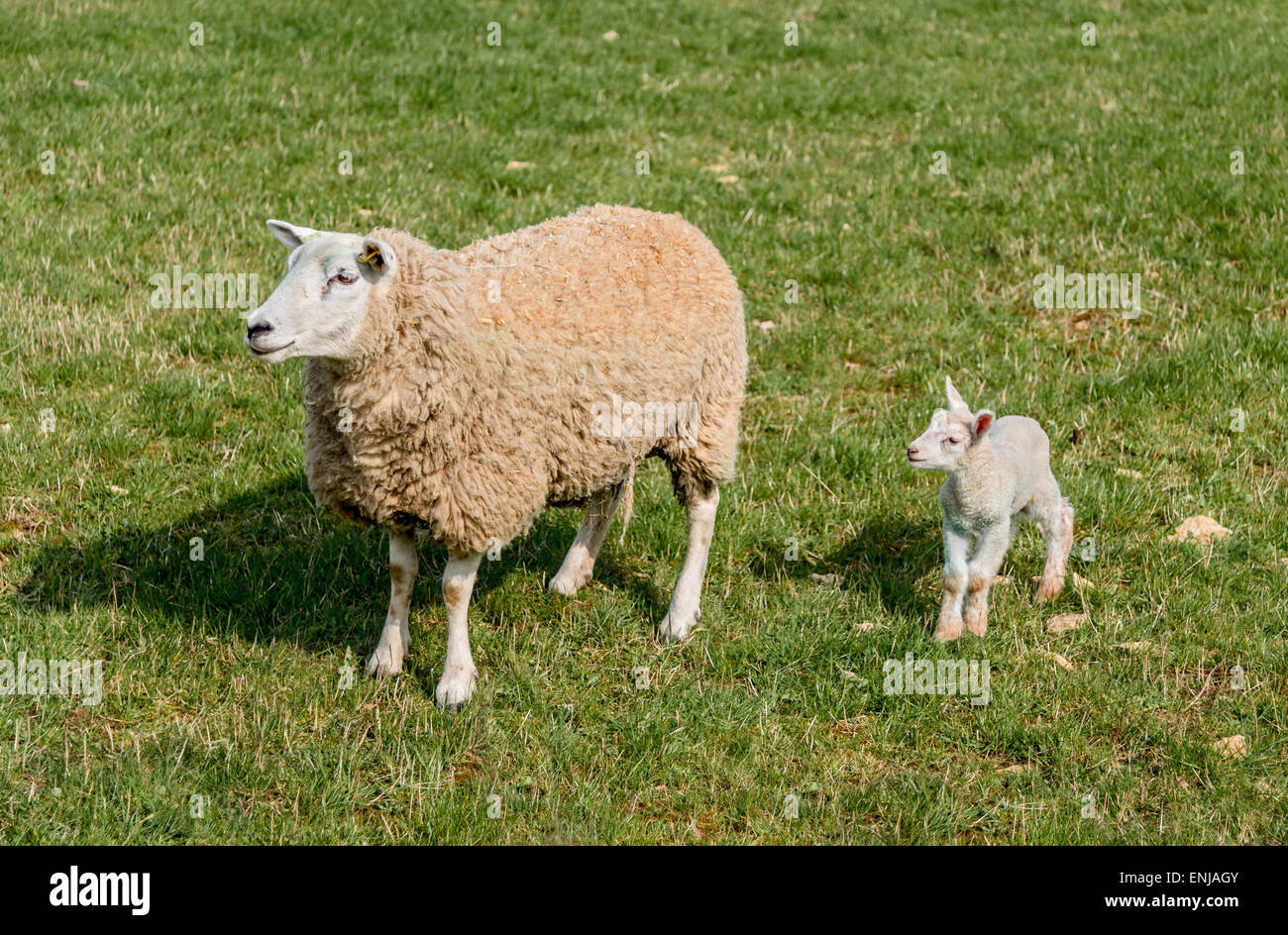 Young spring lamb and mother in grass field - Stock Image