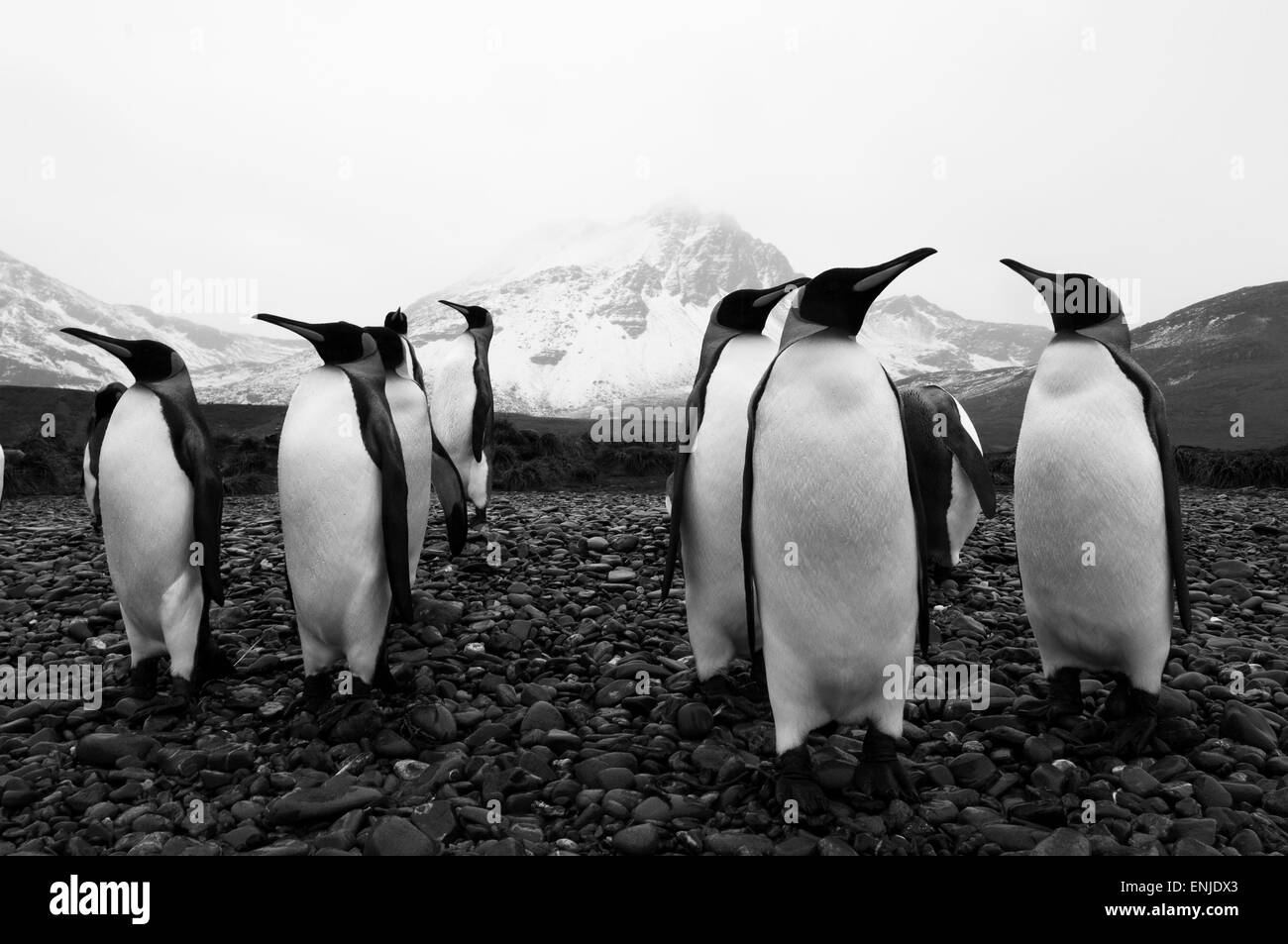 A small colony of King Penguin (Aptenodytes patagonicus) , Jason harbour, South Georgia - Stock Image