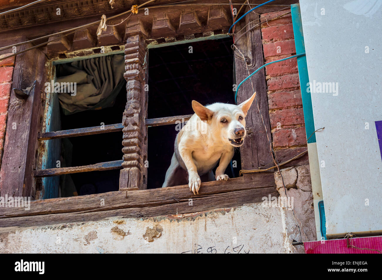 Angry dog barking at the window, in bhaktapur, Nepal - Stock Image