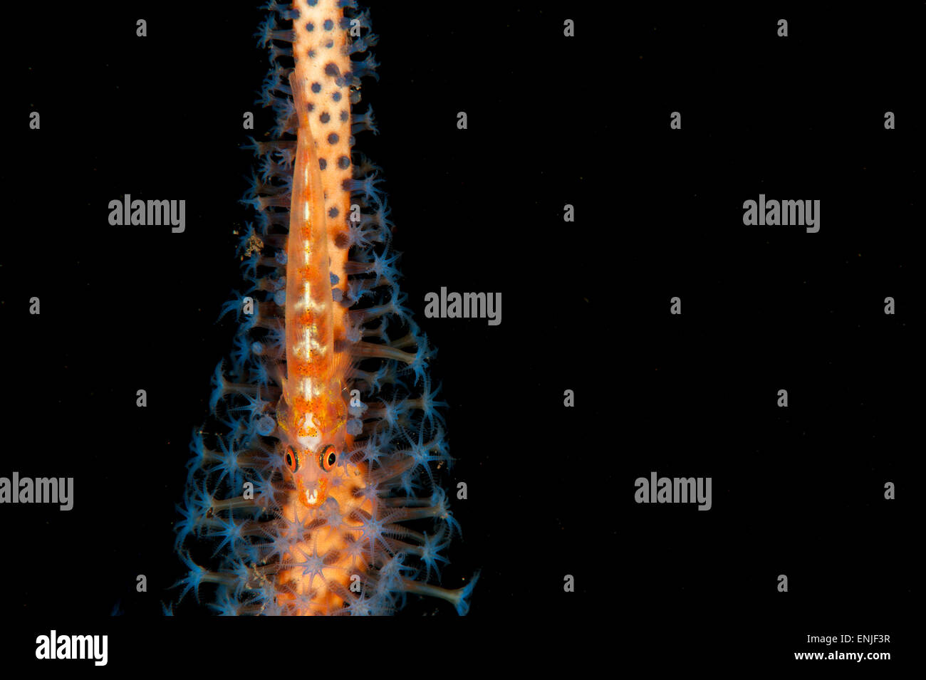 Large whip goby: Bryaninops amplus, on ornage and blue whip coral, Tulamben, Bali - Stock Image