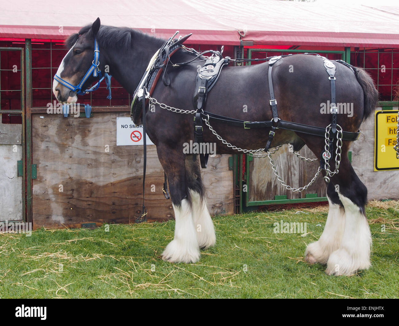 A heavy horse outside temporary stables at a horse show - Stock Image