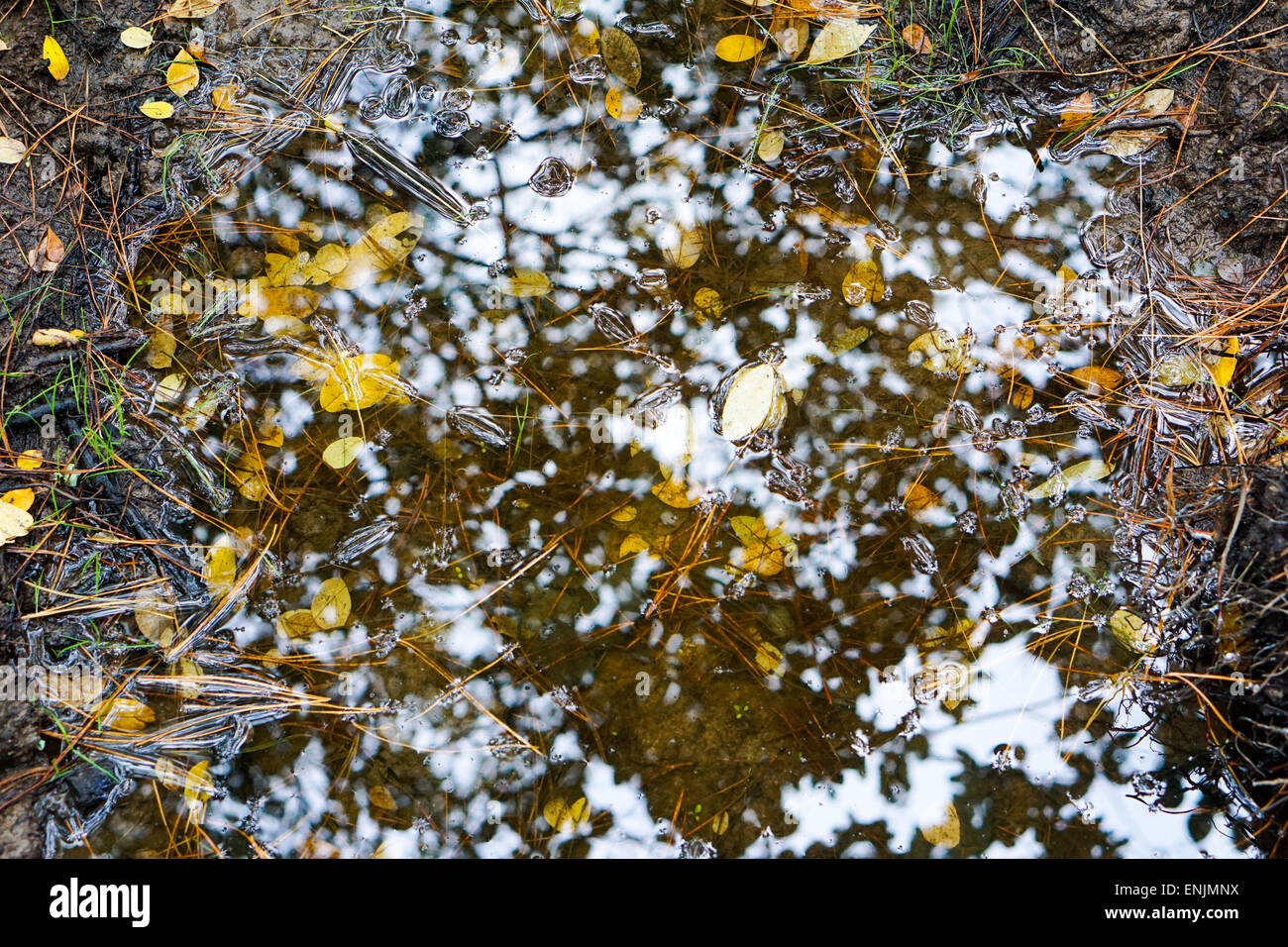Autumn Leaves in puddle with pine straw and reflection of sky and trees. - Stock Image
