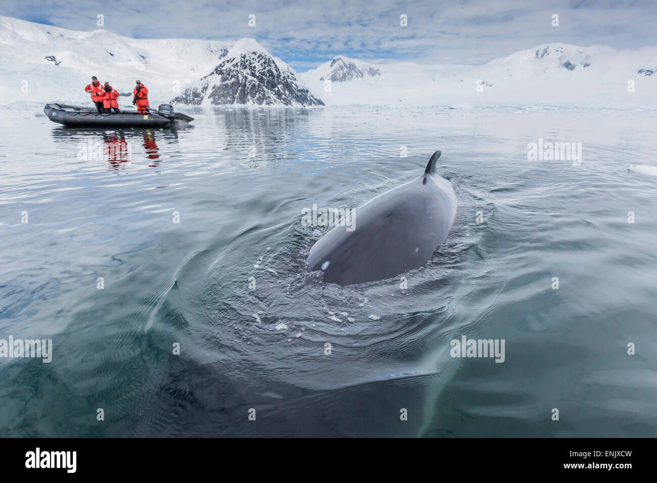 A curious Antarctic minke whale (Balaenoptera bonaerensis) approaches the Zodiac in Neko Harbor, Antarctica, Polar - Stock Image
