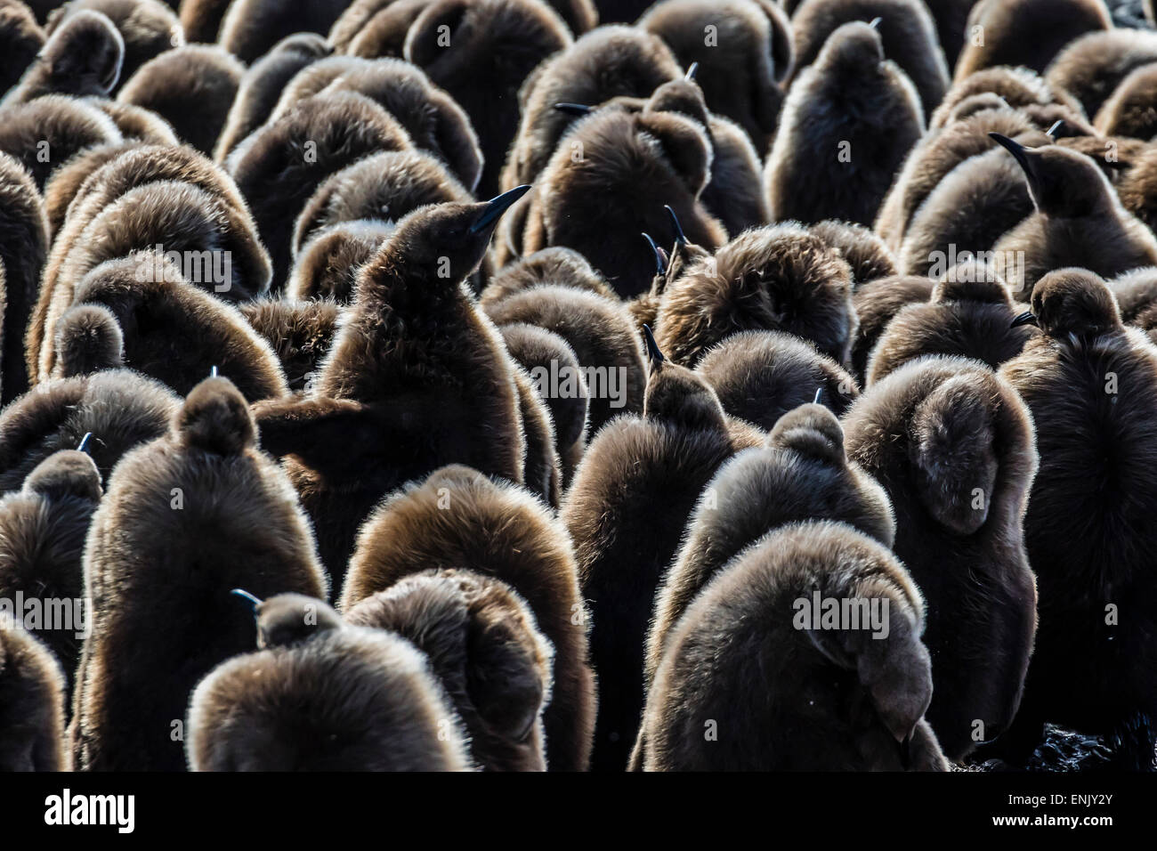 Juvenile king penguins (Aptenodytes patagonicus) at breeding colony at Salisbury Plain, South Georgia, Polar Regions - Stock Image