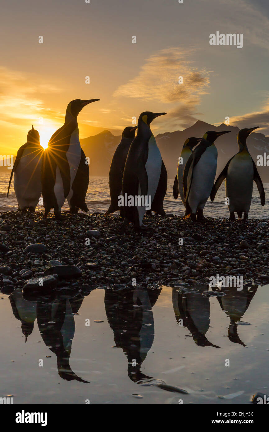 King penguins (Aptenodytes patagonicus) at sunrise, in St. Andrews Bay, South Georgia, Polar Regions - Stock Image