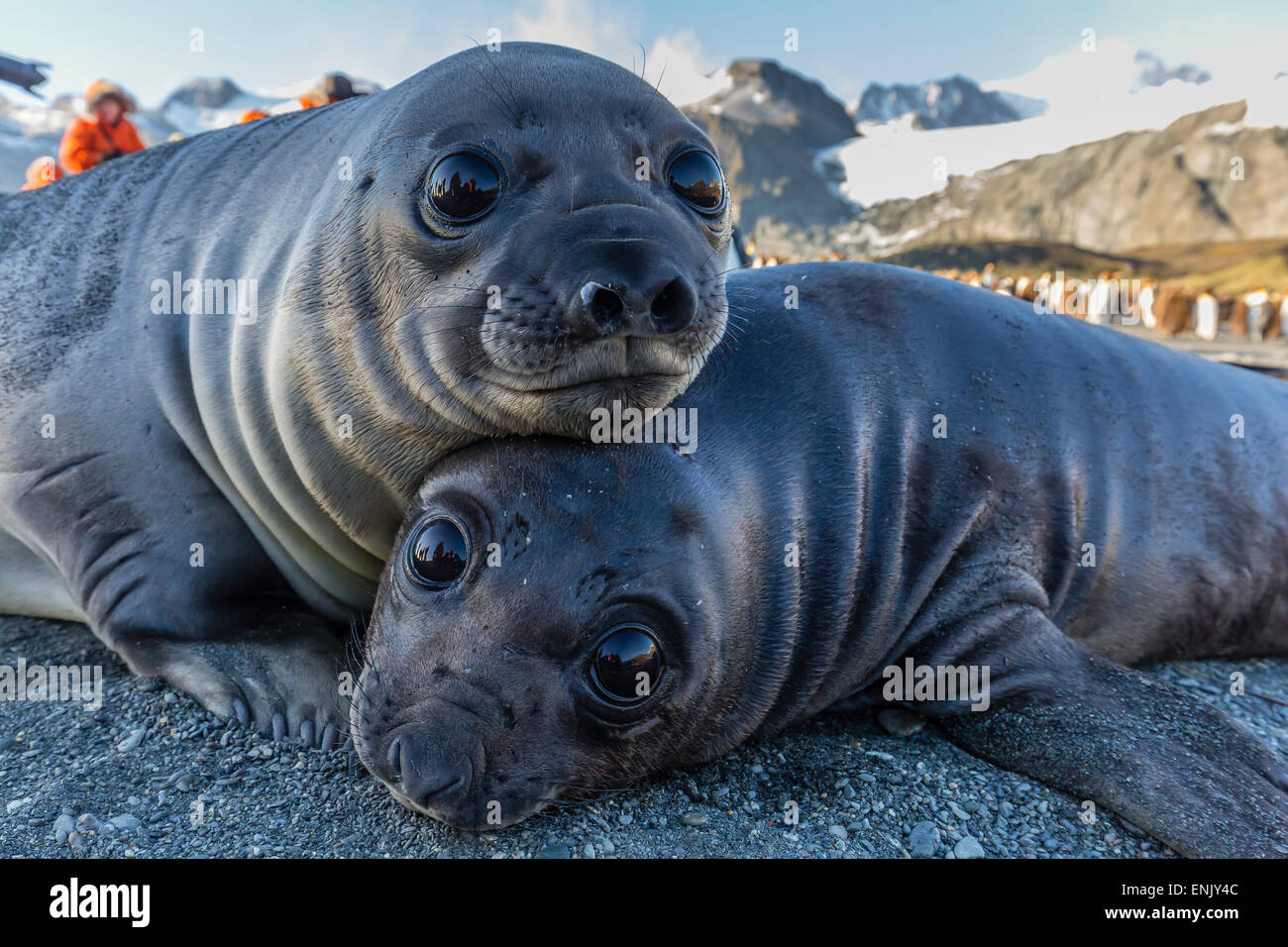 Southern elephant seal pups (Mirounga leonina), Gold Harbor, South Georgia, Polar Regions - Stock Image