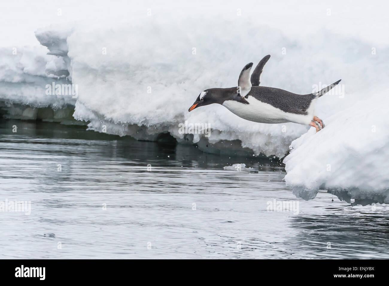 Gentoo penguin (Pygoscelis papua) returning to the sea to feed at Dorian Bay, Antarctica, Polar Regions - Stock Image