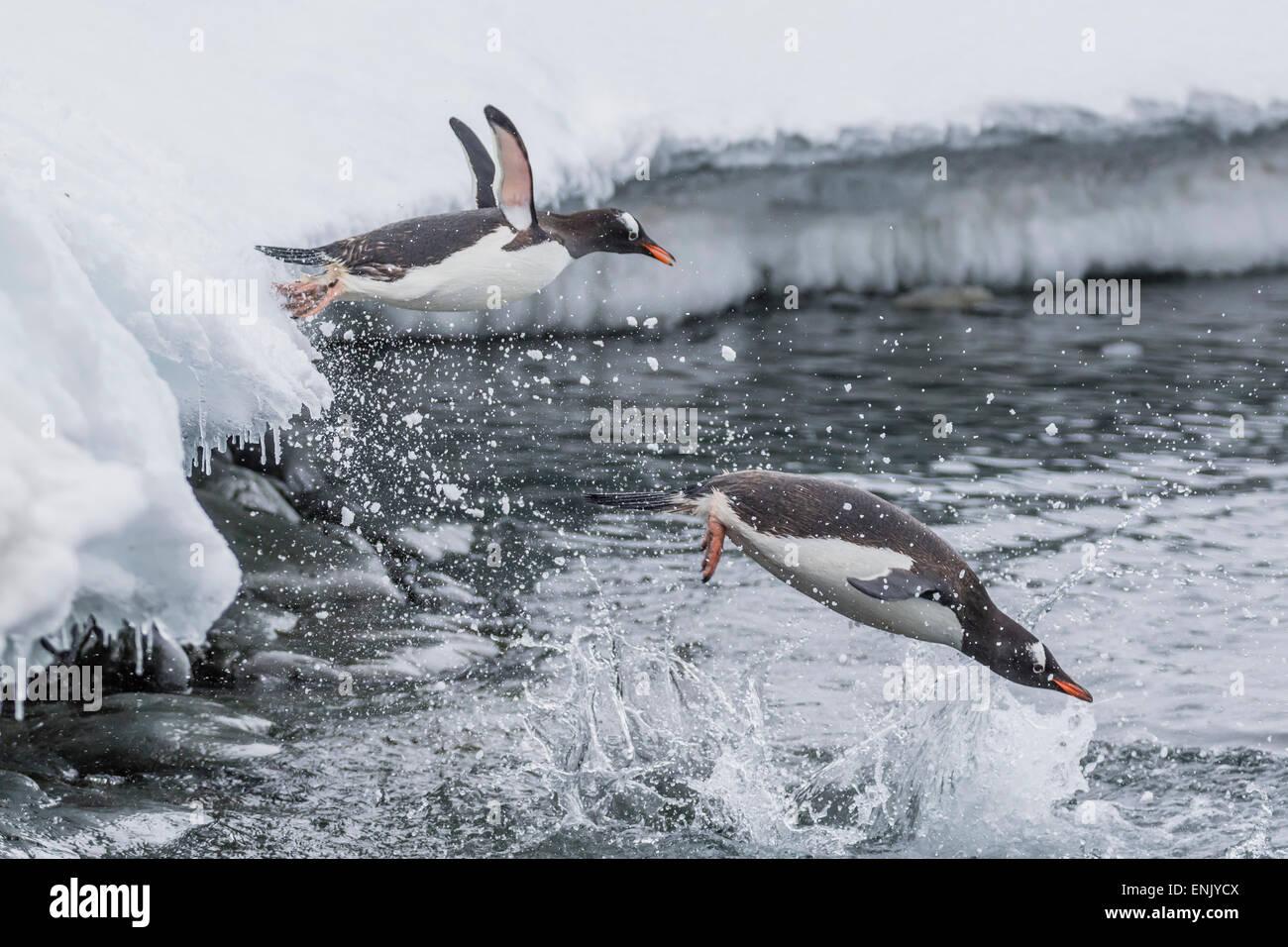 Gentoo penguins (Pygoscelis papua) leaping into the sea at Booth Island, Antarctica, Polar Regions Stock Photo