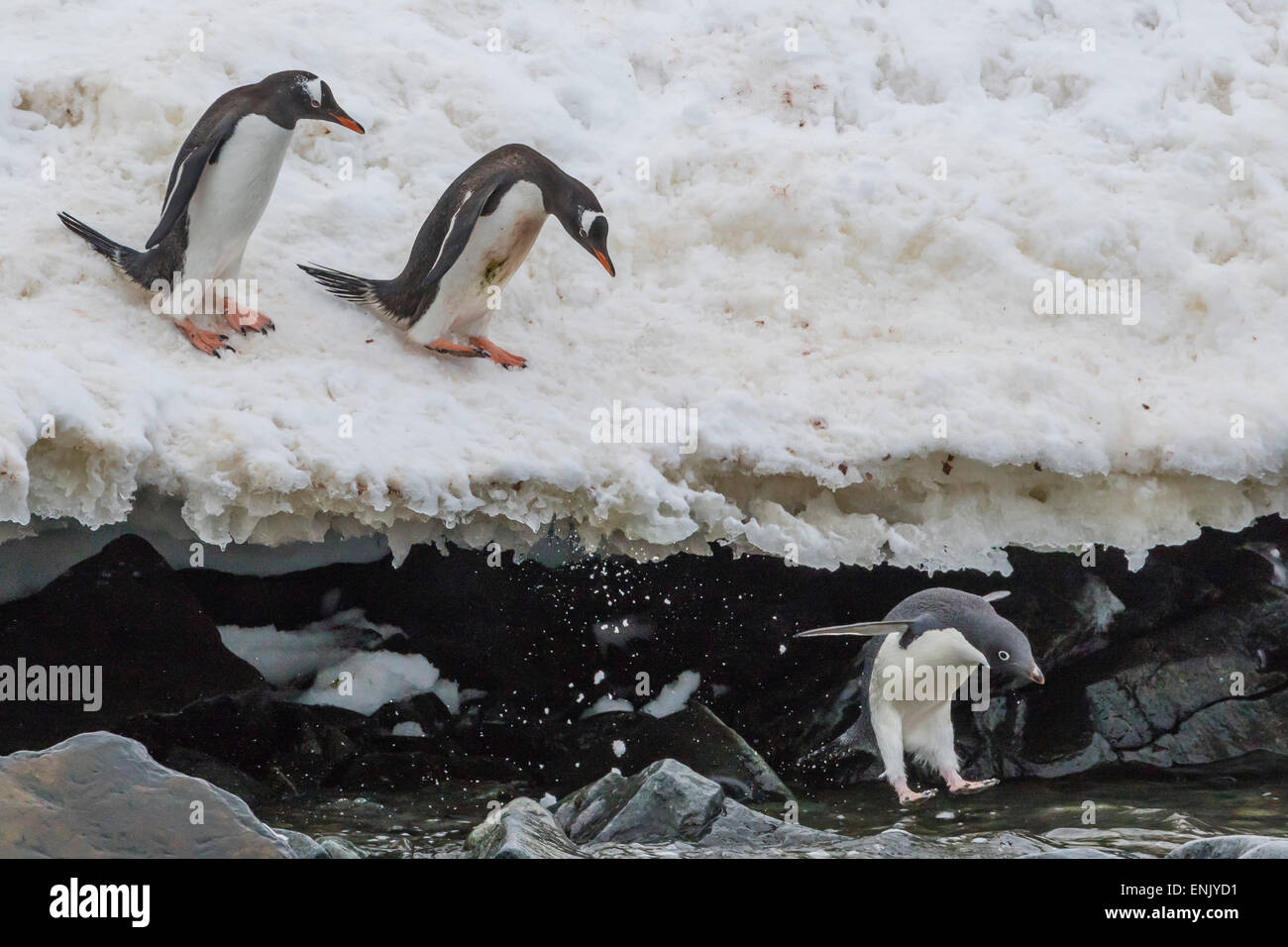 Gentoo penguins (Pygoscelis papua) leaping into the sea with Adelie penguin at Booth Island, Antarctica, Polar Regions - Stock Image