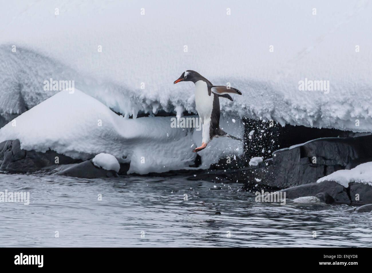 Gentoo penguin (Pygoscelis papua) leaping into the sea at Booth Island, Antarctica, Polar Regions - Stock Image