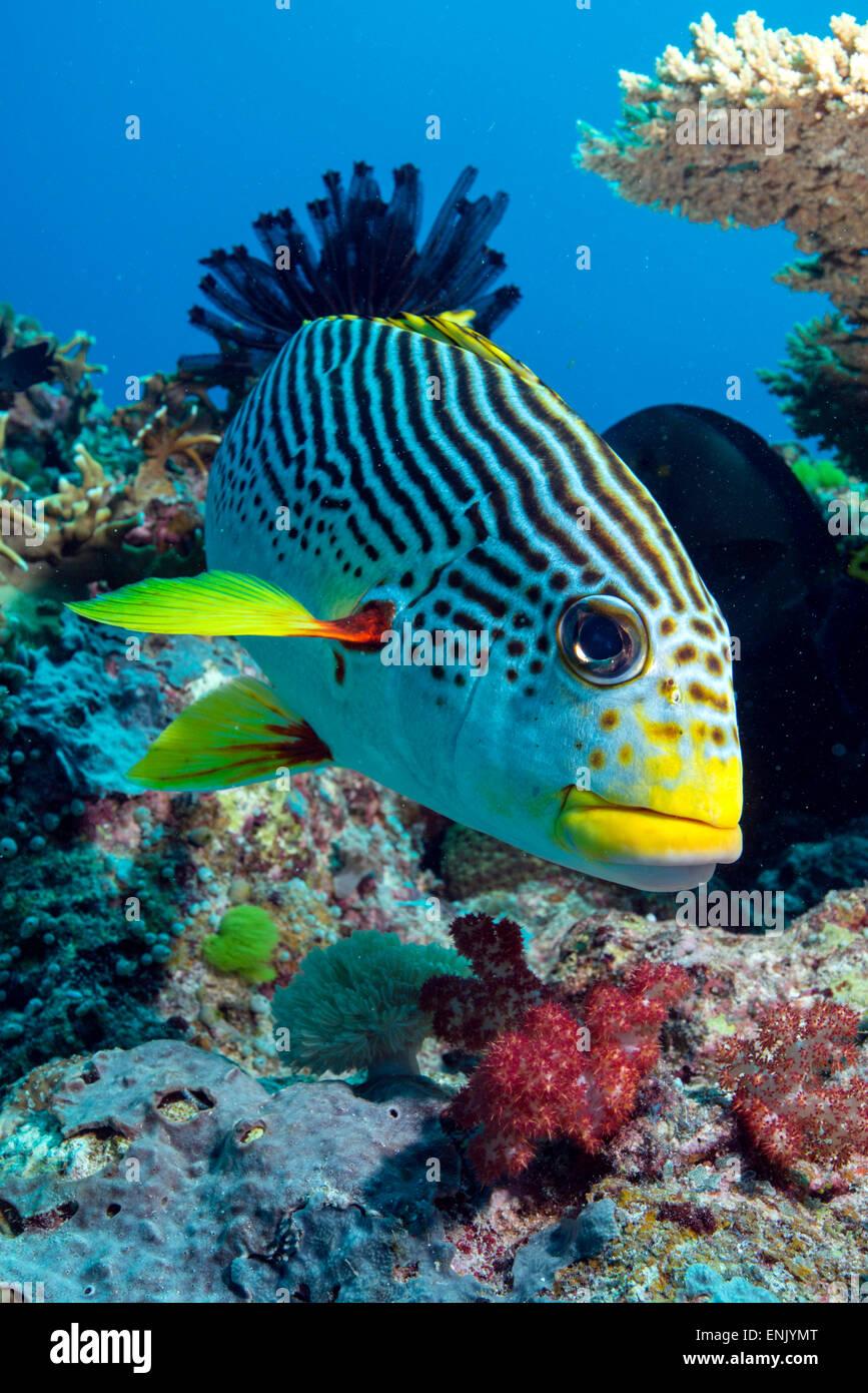Striped sweetlips, North Ribbon Reef, Great Barrier Reef, Queensland, Australia - Stock Image