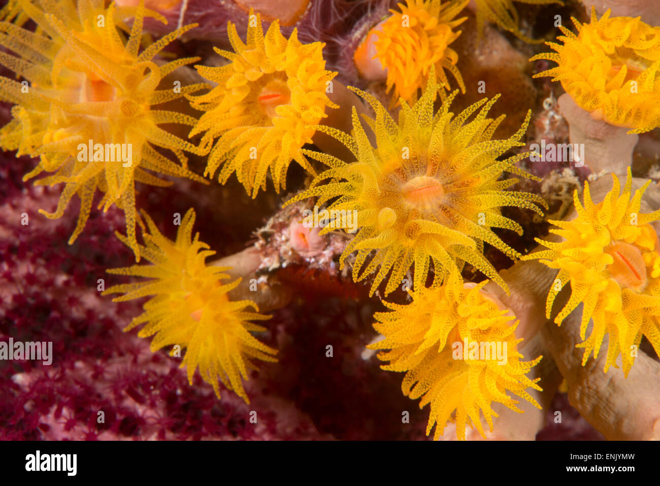 Cave coral (Tubastrea sp.) (Dendrophyllidae) polyps extended and feeding at night, Queensland, Australia, Pacific - Stock Image