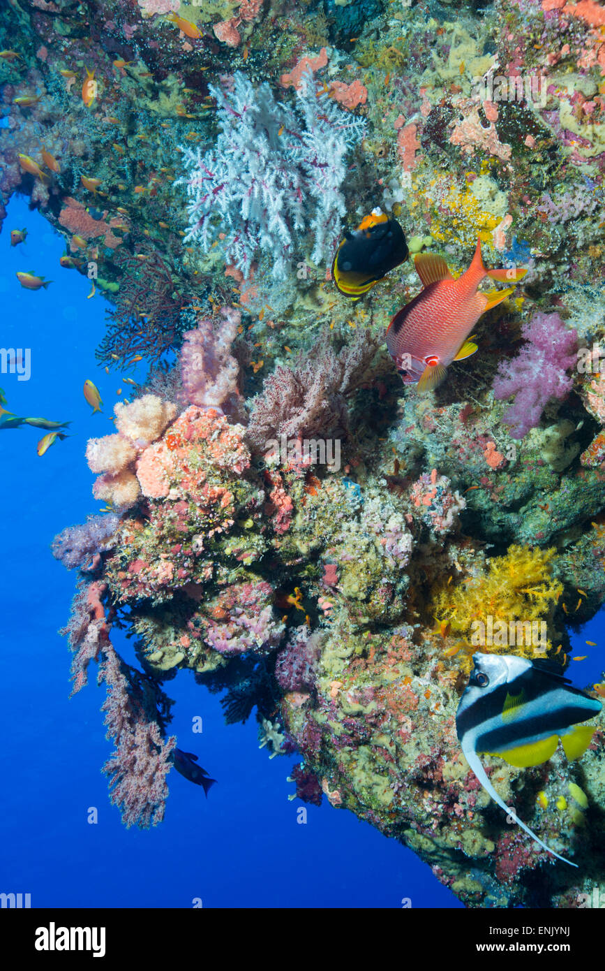 Colourful, coral covered Reef wall at Osprey Reef, Longfin banner fish (Heniochus acuminatus), Coral Sea, Queensland, - Stock Image