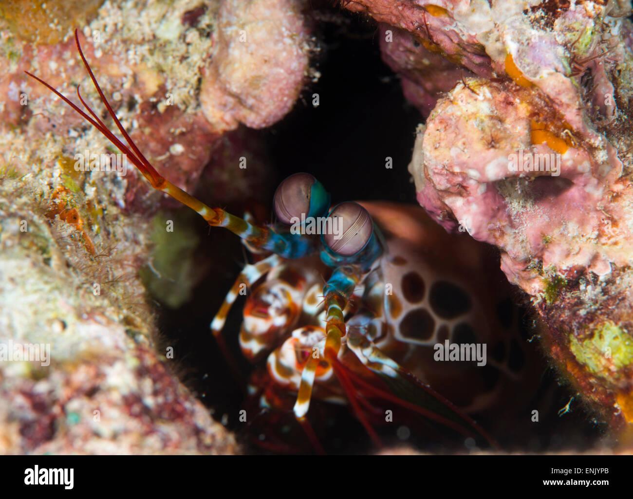 Mantis shrimp (Gonodactylus sp.), a hole dwelling crustacean, Queensland, Australia, Pacific - Stock Image