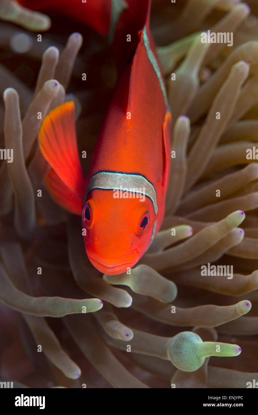 Spine-cheek Anemonefish (Premnas biaculeatus), Queensland, Australia, Pacific - Stock Image