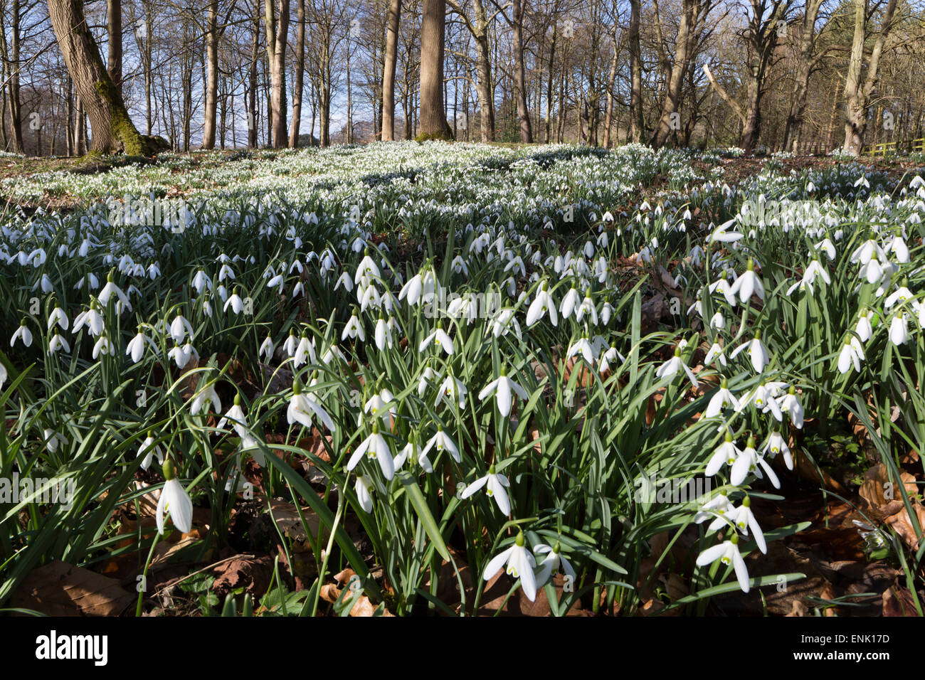 Snowdrops in woodland, near Stow-on-the-Wold, Cotswolds, Gloucestershire, England, United Kingdom, Europe Stock Photo