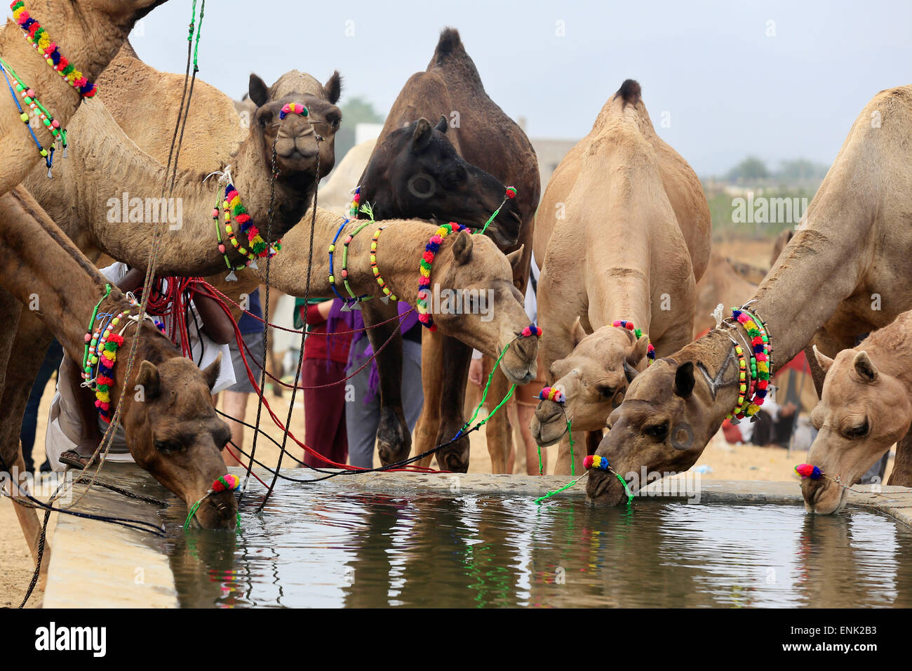 Camel herds bring camels to the watering pool specially designed for them in Pushkar Camel Fair - Stock Image