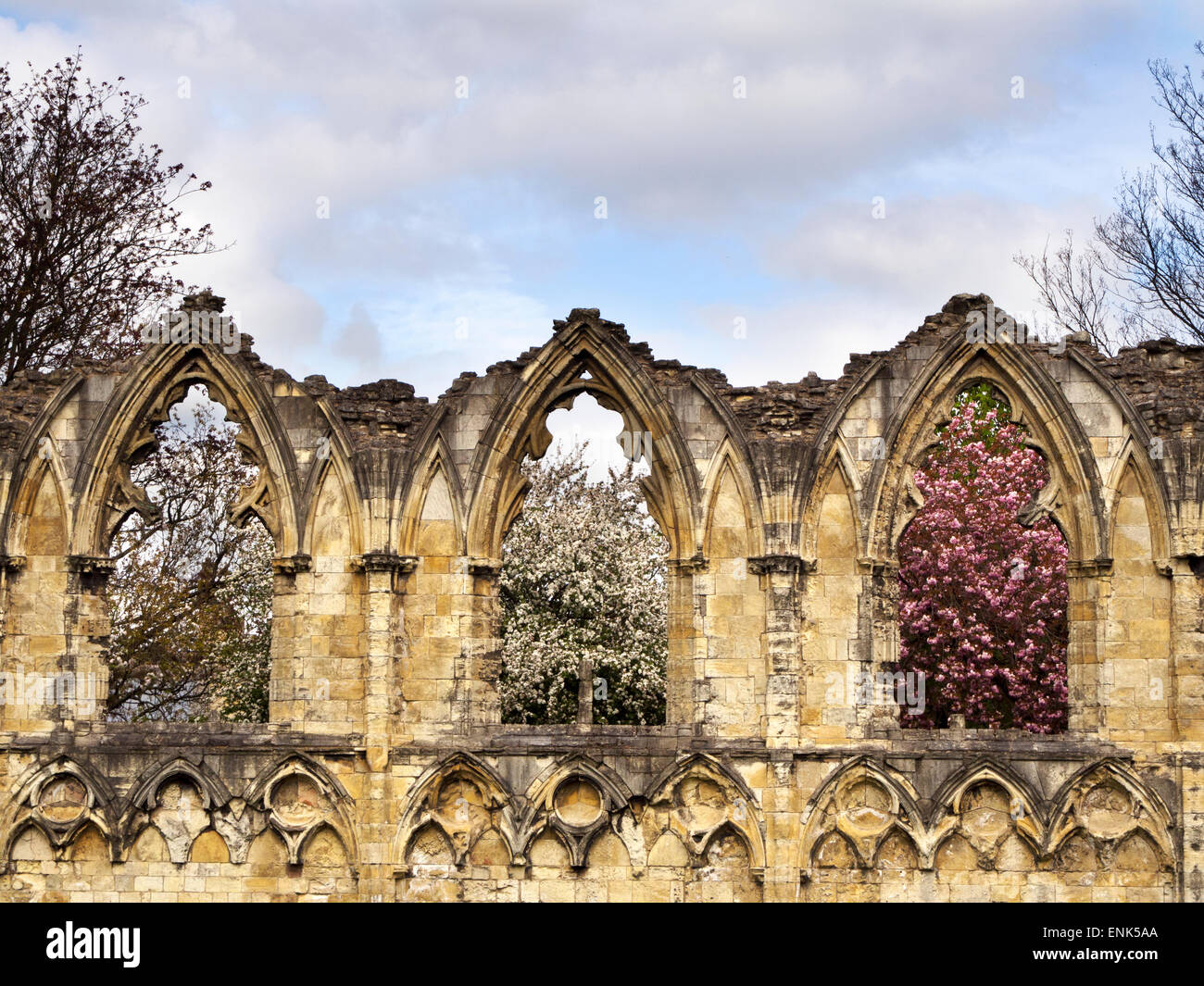 Spring Blossom through Windows in the Ruin of St Marys Abbey Museum Gardens York Yorkshire England - Stock Image
