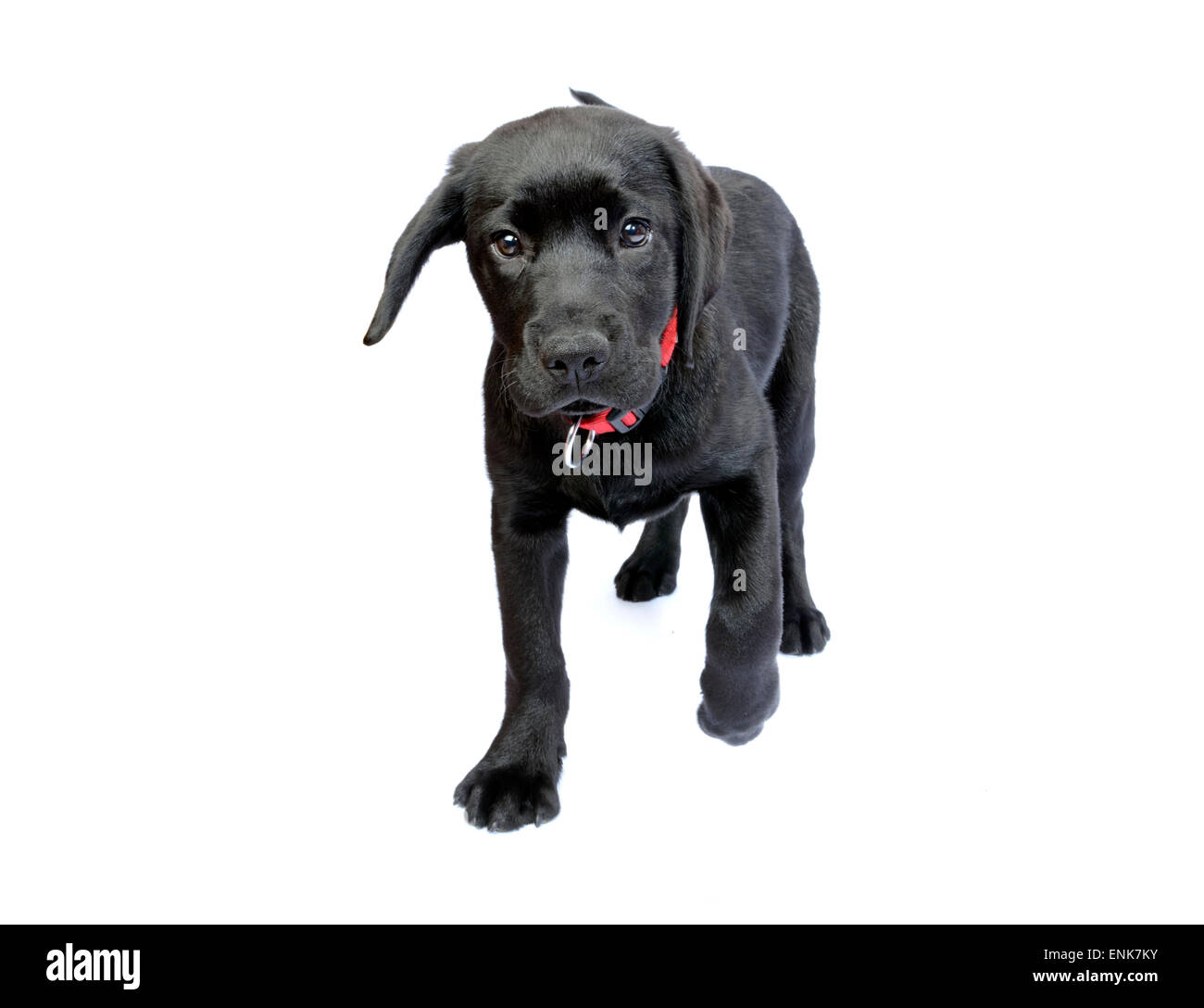 Popular Labrador Retriever Black Adorable Dog - cute-black-labrador-retriever-puppy-walking-towards-us-cut-out-isolated-ENK7KY  Pic_33913  .jpg