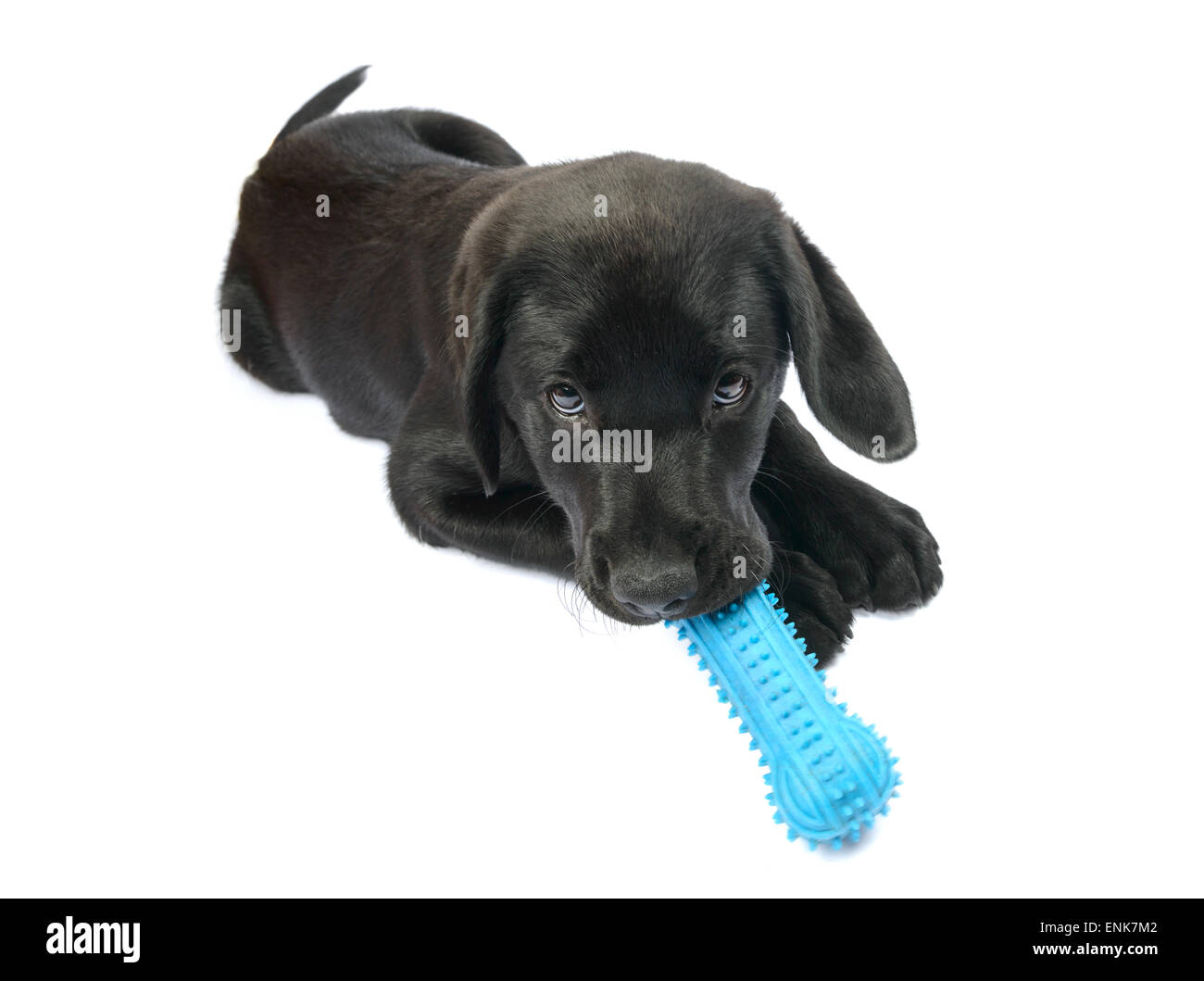 Cute black Labrador Retriever puppy playing with a toy rubber bone - Stock Image