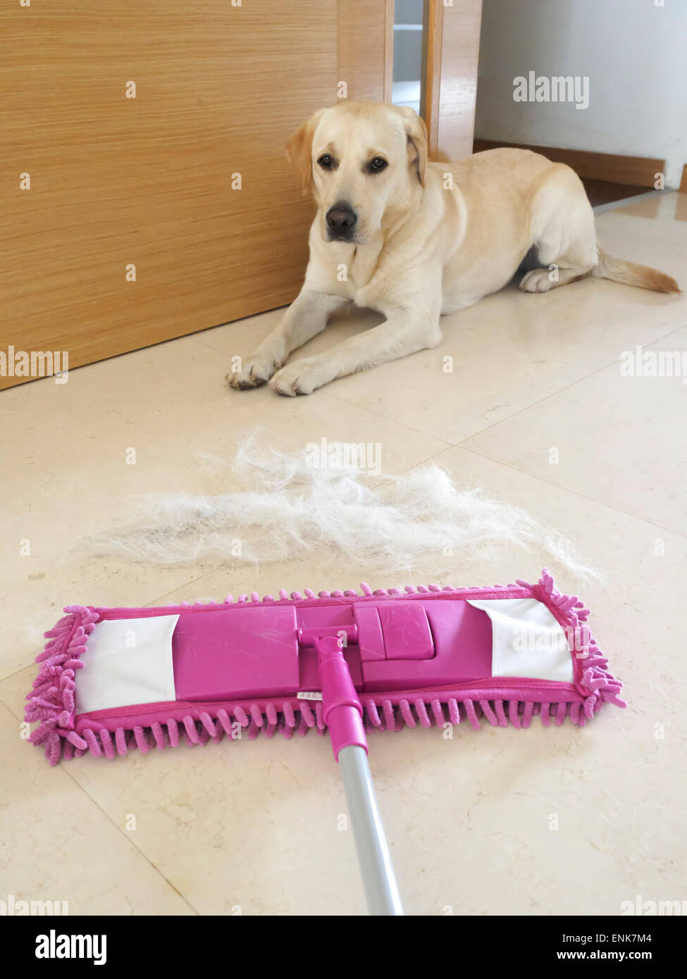 Microfiber mop cleaning dog's hair from the floor - Stock Image