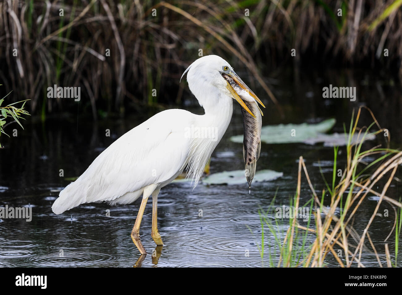 great white heron (a.k.a. great blue heron), everglades, florida - Stock Image