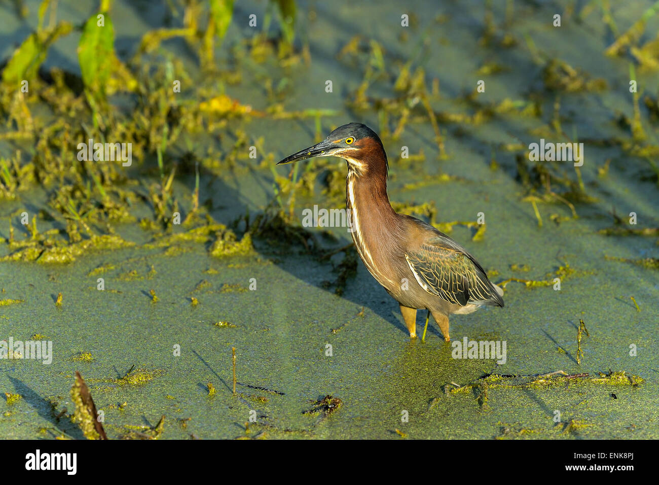 green heron,  butorides virescens, viera, florida Stock Photo