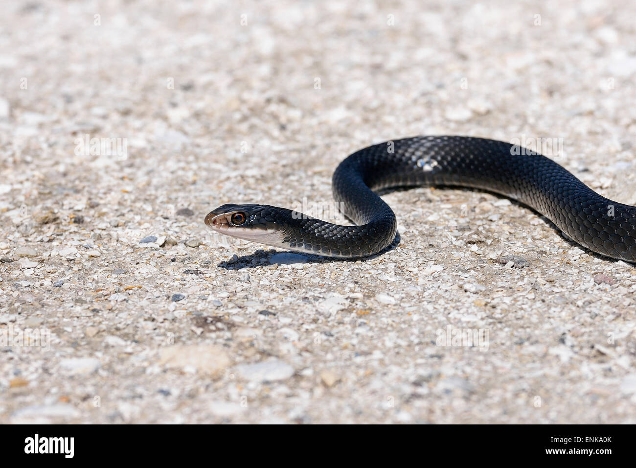 coluber constrictor priapus, southern black racer, viera, florida - Stock Image