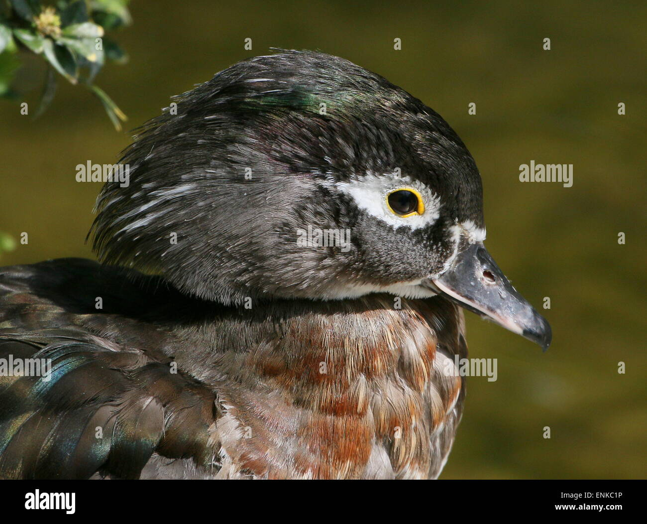 North American Wood duck or Carolina duck (Aix sponsa) in eclipse plumage, probably a young male Stock Photo