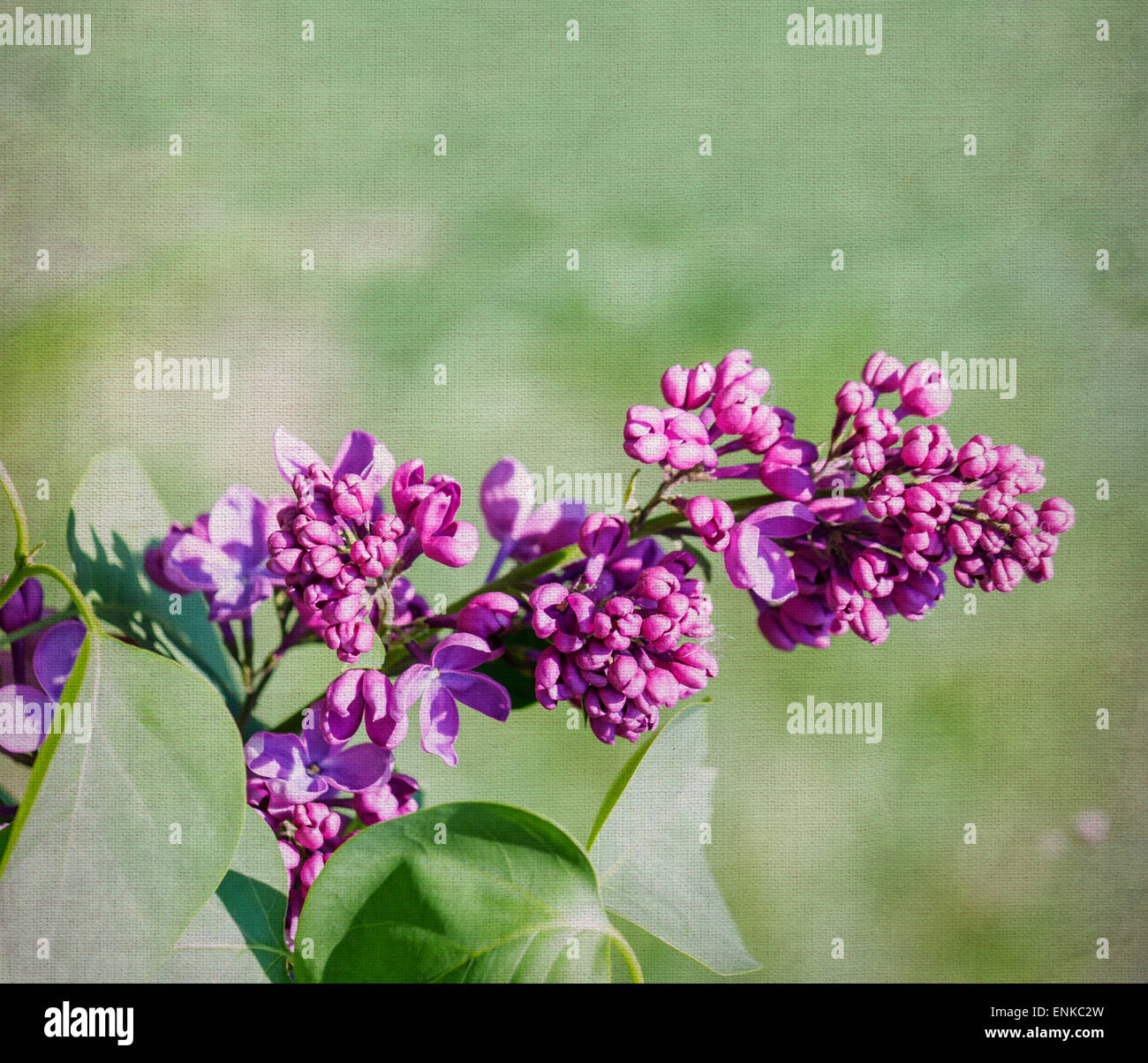 Purple lilac flower close-up over canvas background. Selective focus with shallow depth of field. - Stock Image