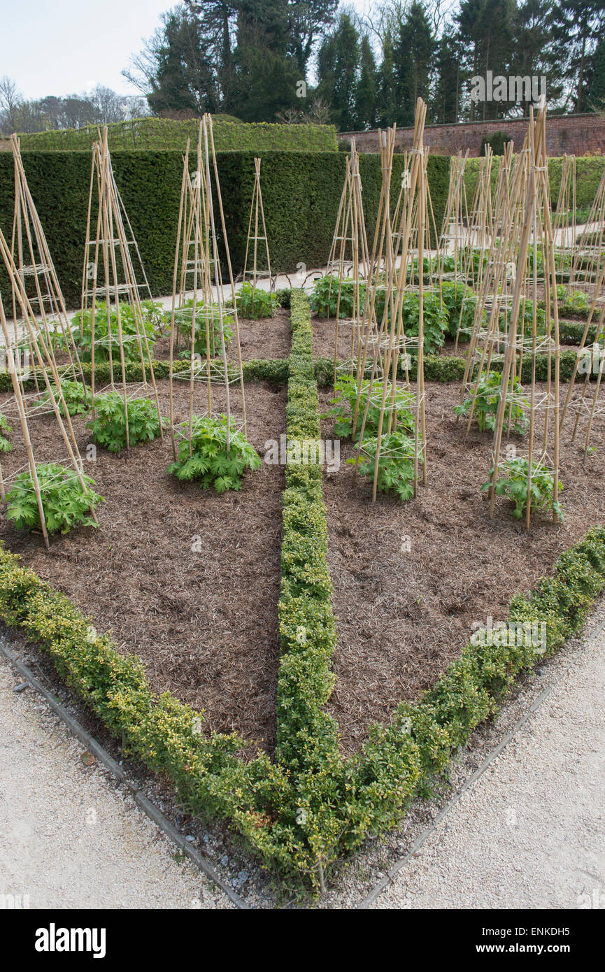 Bamboo cane supports for delphinium plants at Alnwick Gardens, Northumberland, England - Stock Image