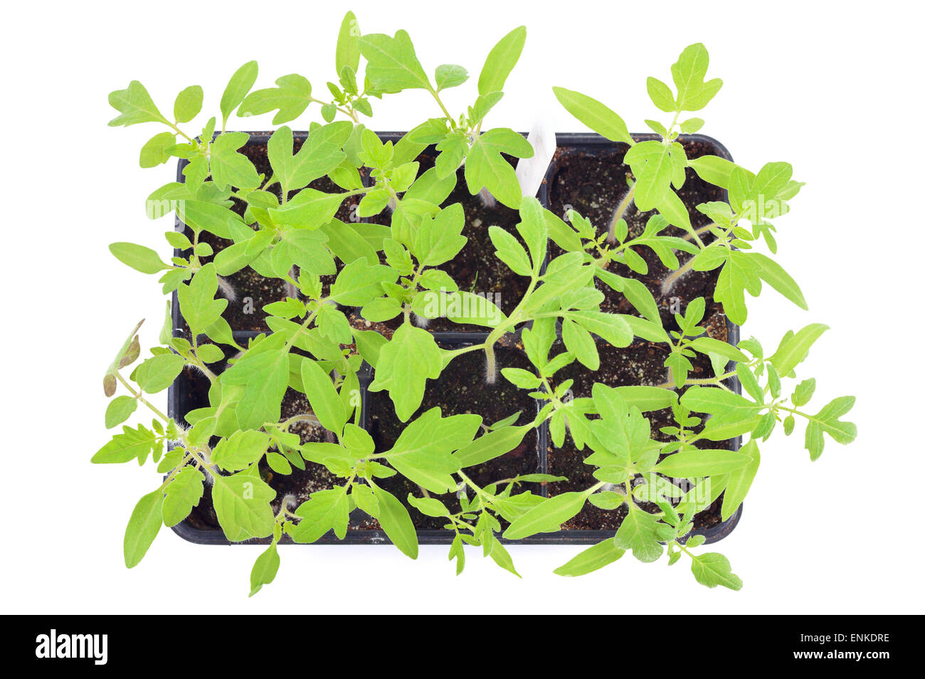 Tomato Seedlings In A Pot Isolated On White Background Young Plants Plastic Cells