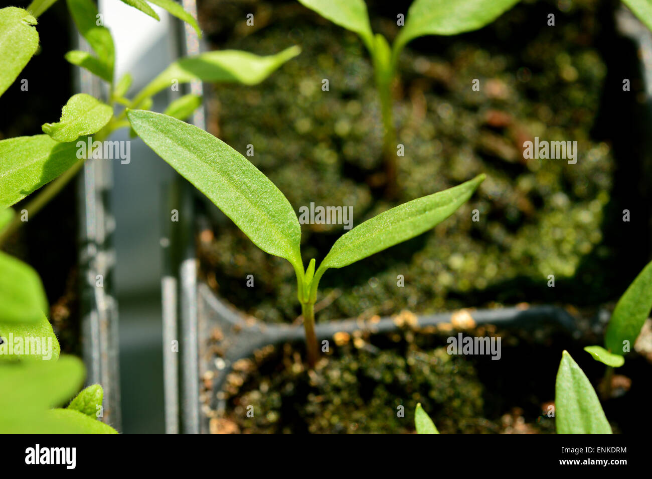 close-up of paprika seedling, young plant in plastic pot, gardening. Selective focus. - Stock Image