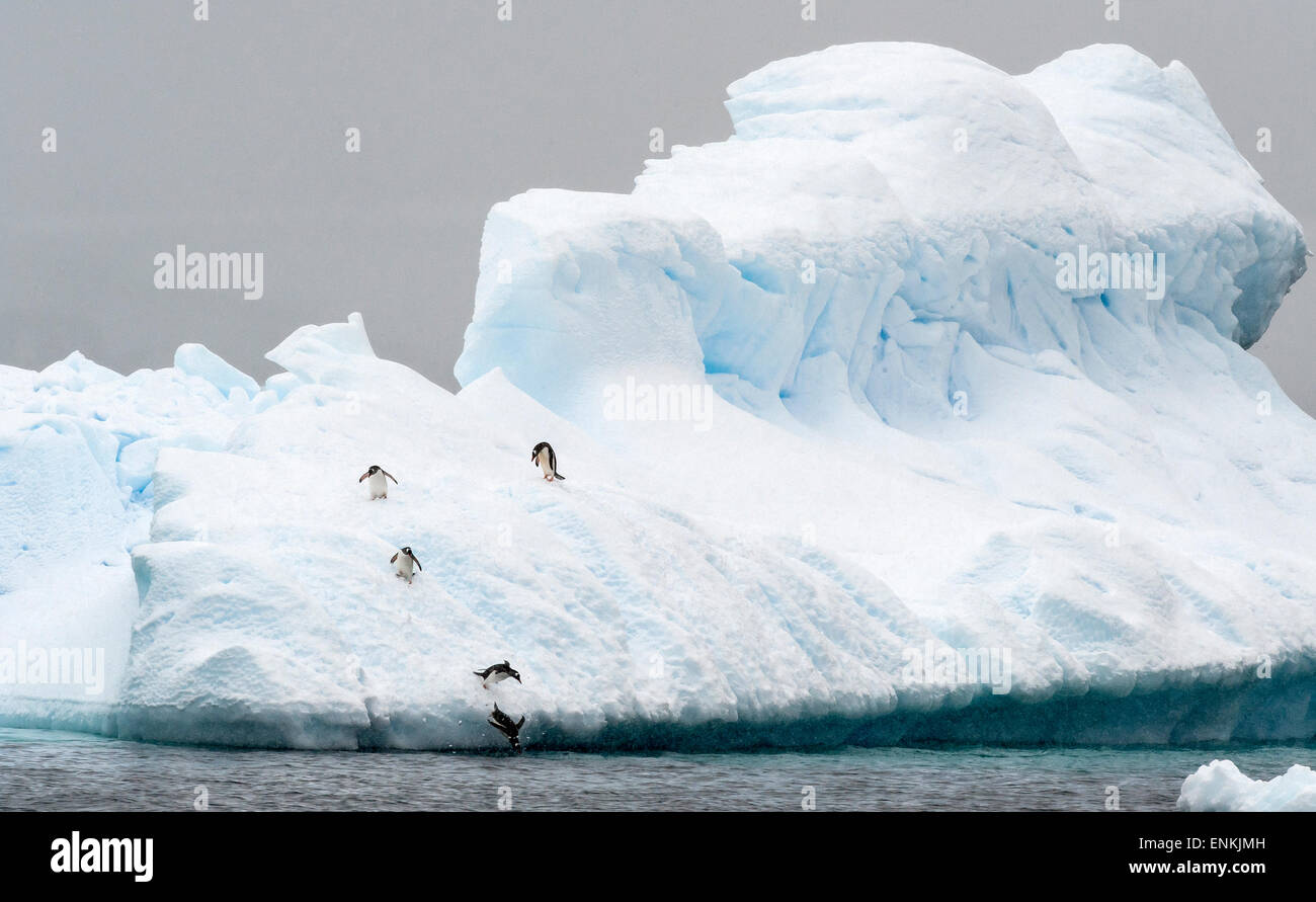 Gentoo penguins (Pygoscelis papua) jumping in the water from iceberg Cuverville Island Antarctic Peninsula Antarctica - Stock Image