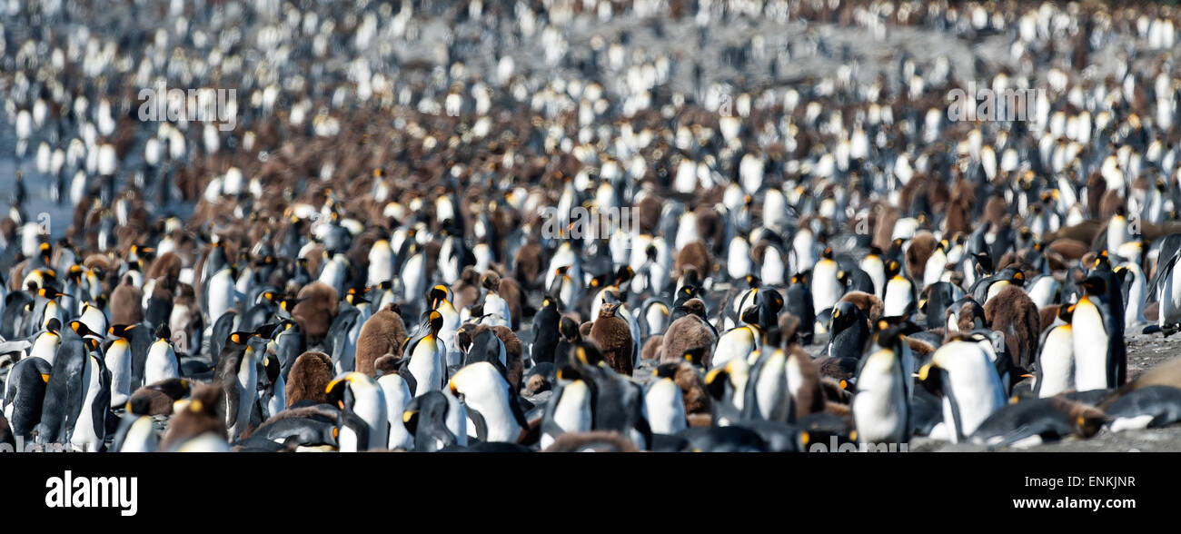 Colony of king penguins (Aptenodytes patagonicus) Gold Harbour South Georgia - Stock Image