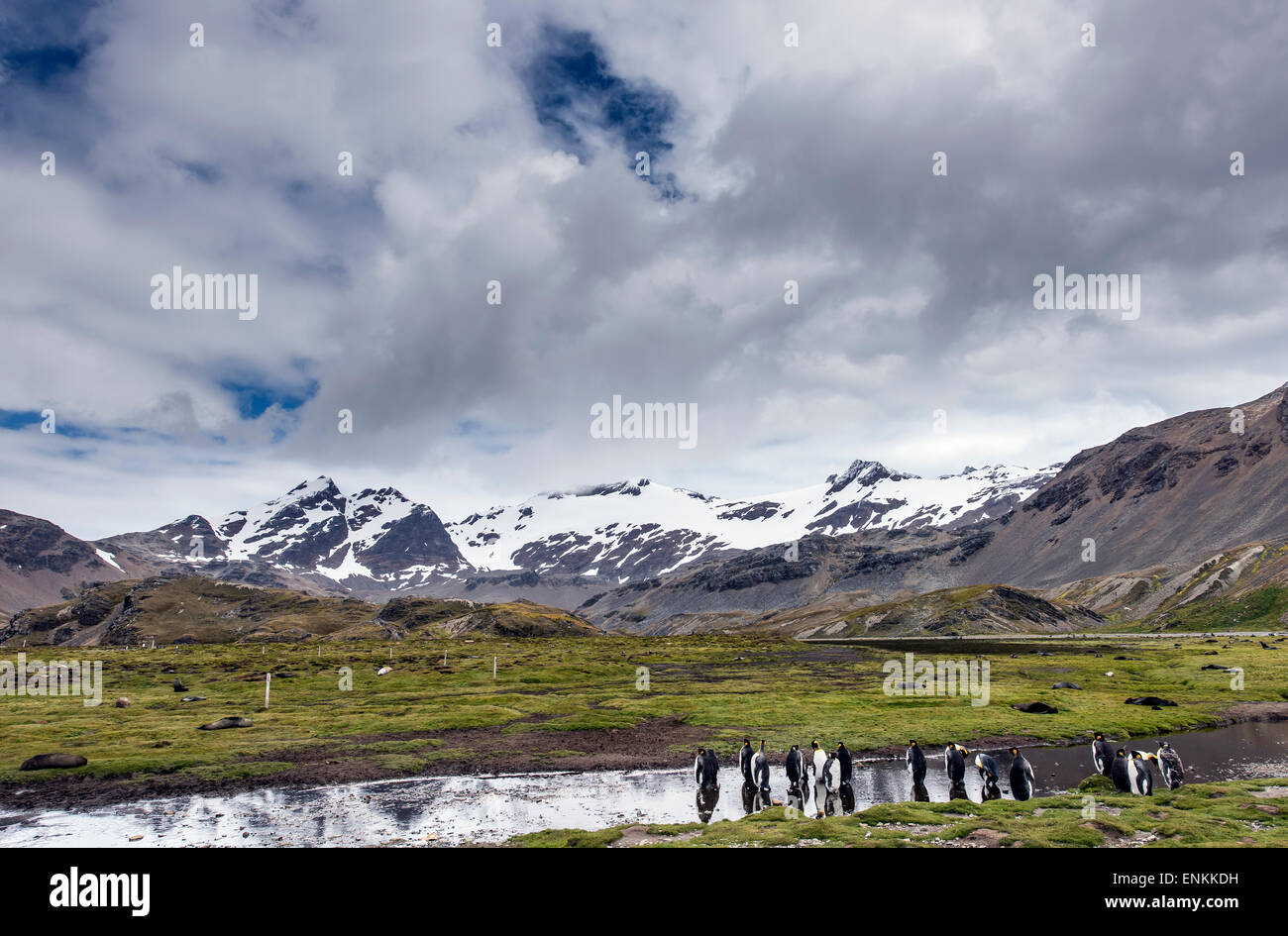 Colony of king penguins (Aptenodytes patagonicus) Stromness South Georgia - Stock Image