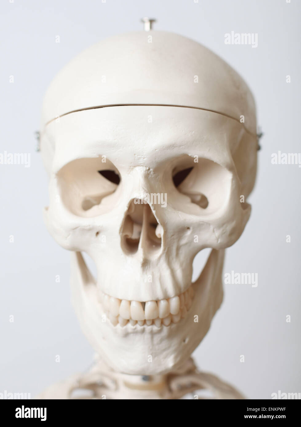 A life size model of a human skeleton. Picture by James Boardman - Stock Image