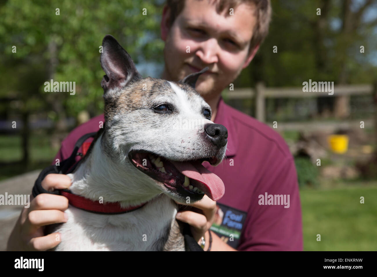 Staffordshire Bull Terrier Marvin has been rescued from Euthanasia by Foal Farm animal rescue  centre - Stock Image