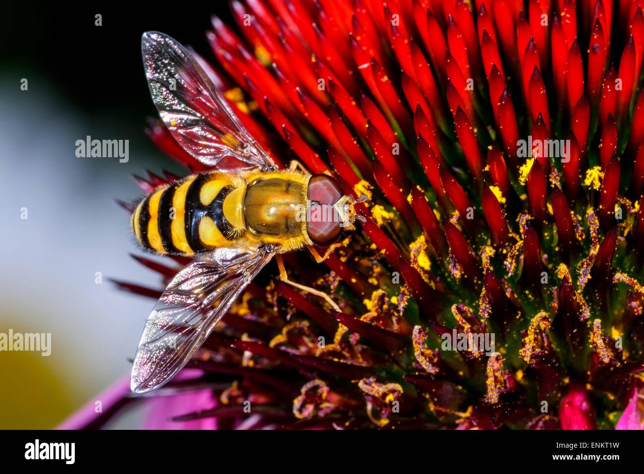 syrphus torvus - Stock Image