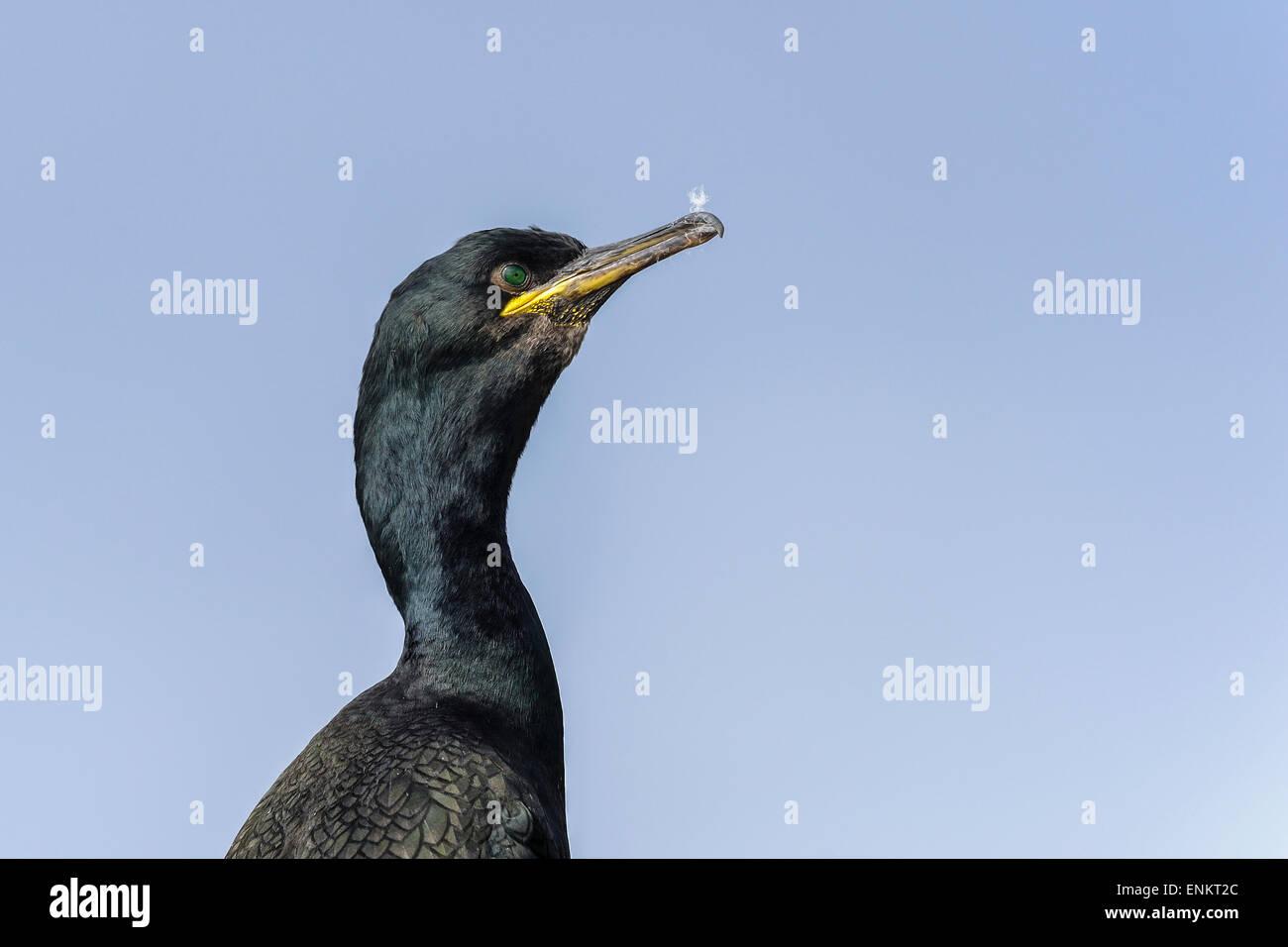 european shag, phalacrocorax aristotelis - Stock Image