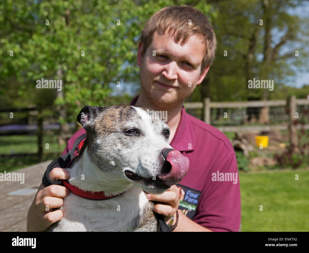 Staffordshire Bull Terrier Marvin is held by dan sallis after being rescued from Euthanasia by Foal Farm animal - Stock Image