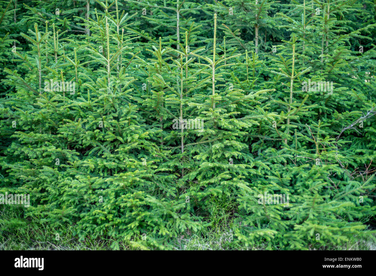 Young spruce trees Picea abies - Stock Image