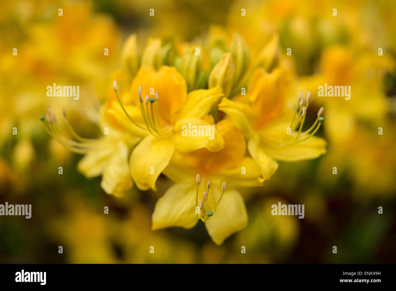 Yellow azalea Rhododendron luteum flowers close up fragrant - Stock Image